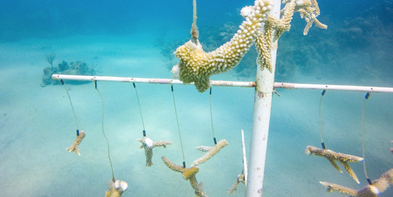Coral Restoration in St. Croix