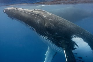 Humpback_Escort2_Tonga_Sept2013-copy.jpg